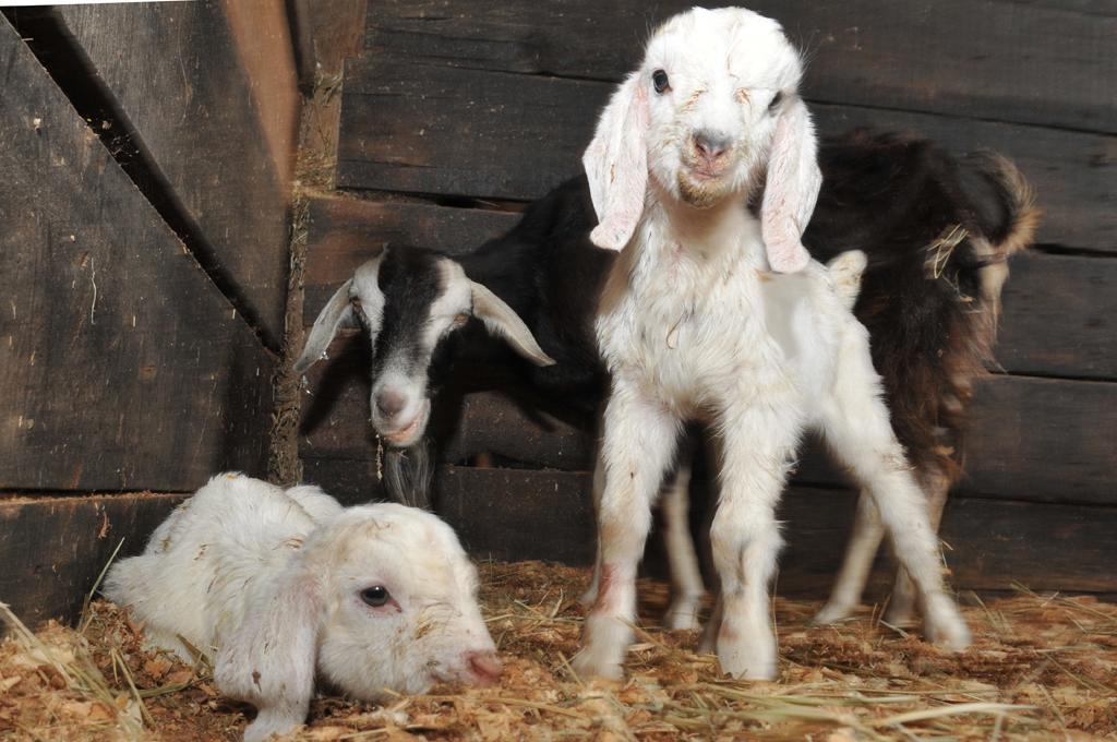 Cabra e seus filhotes