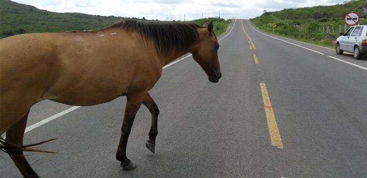 Polícia Rodoviária Federal apreende mais 700 animais nas estradas do PI